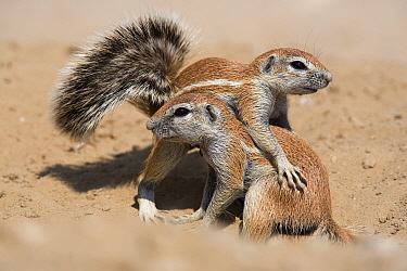 Young ground squirrels (Xerus inauris) playing, Kgalagadi Transfrontier Park, South Africa  -  Ann & Steve Toon/ npl