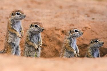 Young Ground squirrels (Xerus inauris) at burrow, Kgalagadi Transfrontier Park, South Africa  -  Ann & Steve Toon/ npl