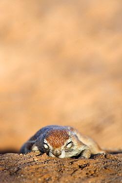 Ground squirrel (Xerus inauris) sleeping, Kgalagadi Transfrontier Park, Northern Cape, South Africa, non-ex  -  Ann & Steve Toon/ npl
