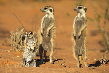 Meerkats (Suricata suricatta), sharing burrow with ground squirrel (Xerus inauris) Kgalagadi Transfrontier Park, Northern Cape, South Africa, non-ex  -  Ann & Steve Toon/ npl