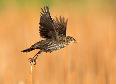 Female Red-winged blackbird (Agelaius phoeniceus) taking off, Red-tailed park, Aurora, Colorado, USA May  -  Charlie Summers/ npl