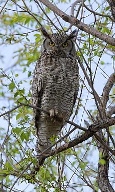 Great Horned Owl (Bubo virginianus) portrait, Piney Creek in Aurora, Colorado, USA, May  -  Charlie Summers/ npl
