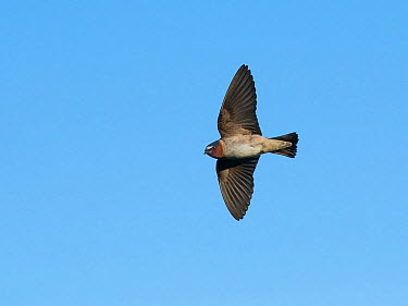 Cliff Swallow (Petrochelidon pyrrhonota) Aurora Parkway, Aurora, Colorado, USA May  -  Charlie Summers/ npl