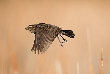 Female Red-winged blackbird (Agelaius phoeniceus) taking off from perch, Red-Tailed Park, Aurora, Colorado, USA June  -  Charlie Summers/ npl