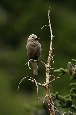 Clarks nutcracker perched (Nucifraga columbiana) Rocky Mountains NP, Colorado, USA  -  Thomas Lazar/ npl