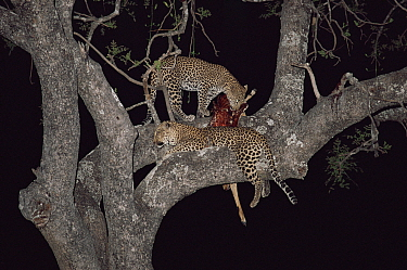 Leopard (Panthera pardus) with 10-month cub and Impala kill in tree at night, Zambia, Southern Luangwa NP  -  Owen Newman/ npl