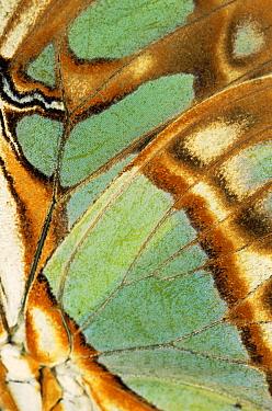 Close up of wing pattern of Malachite butterfly (Siproeta stelenes)  -  Steven David Miller/ npl