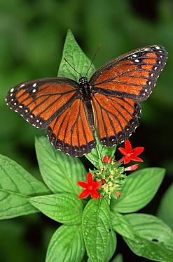 Viceroy butterfly (Limenitis archippus) captive, Florida, USA  -  Steven David Miller/ npl