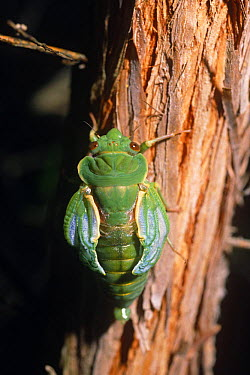 Greengrocer cicada pumping wings after emerging from nymph case (Cyclochila australasiae) Australia  -  Steven David Miller/ npl