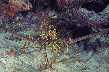 Painted reef lobster (Panulirus ornatus) Florida, USA  -  Des Bartlett/ npl