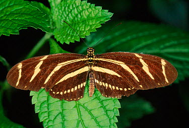 Zebra longwing butterfly (Heliconius charithonia)  -  Steven David Miller/ npl