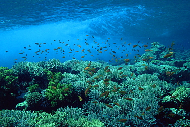 Coral reef scenic with waves and Anthias fish, Eygpt, Red Sea  -  Georgette Douwma/ npl