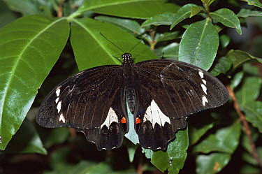 Orchard butterfly (Papilio aegeus) on leaves, Melbourne zoo, Australia  -  Steven David Miller/ npl
