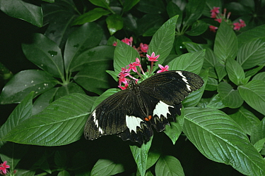 Orchard butterfly (Papilio aegeus) on flowers and leaves, Melbourne zoo, Australia  -  Steven David Miller/ npl