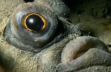 Plaice (Pleuronectes platessa) close-up of face, UK  -  Alan James/ npl