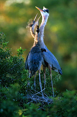 Great blue heron (Ardea herodias) with begging chicks at nest, Venice Rookery, Florida  -  Steven David Miller/ npl