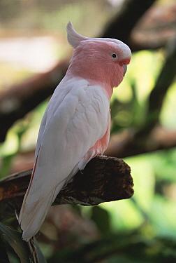 Pink cockatoo male (Cacatua leadbeateri) Queensland, Australia Bird World  -  Steven David Miller/ npl