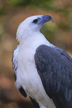 White bellied sea eagle (Haliaeetus leucogaster) Northern Territory, Australia  -  Steven David Miller/ npl