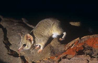 Kowari (Dasyuroides byrnei) Captive, from Central Australia, vulnerable  -  Steven David Miller/ npl