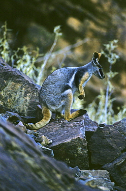 Yellow footed rock wallaby (Petrogale xanthopus) endangered species, Gawler Ranges, South Australia  -  Steven David Miller/ npl