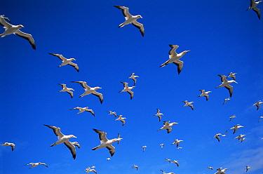 Australasian gannets in flight (Morus serrator) Australia  -  Dave Watts/ npl