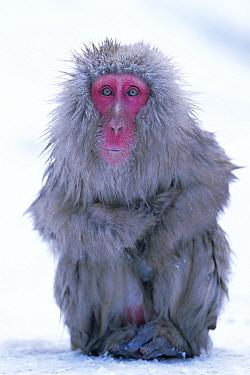 Japanese macaque sitting portrait (Macaca fuscata) Joshin-etsu NP, Japan  -  Ingo Arndt/ npl