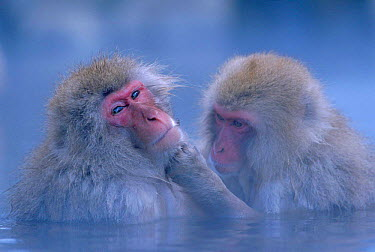Japanese macaques grooming in hot thermal spring (Macaca fuscata) Joshin-etsu NP, Japan These primates can survive winter temperatures below -15 degrees by bathing in the springs  -  Ingo Arndt/ npl
