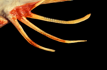 Close up of fin of Tub gurnard (Trigla, Chelidoichtys lucerna)  -  Ingo Arndt/ npl