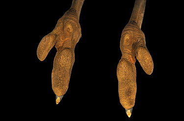 Close up of feet of Ostrich (Struthio camelus)  -  Ingo Arndt/ npl