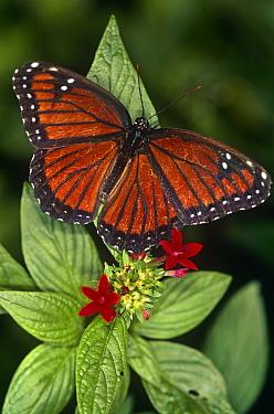 Viceroy butterfly (Limenitis archippus) captive  -  Steven David Miller/ npl
