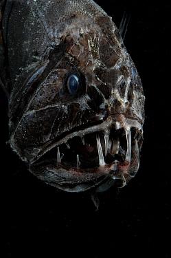 Fangtooth, bathypelagic fish (Anoplogaster cornuta), deep sea Atlantic ocean  -  David Shale/ npl