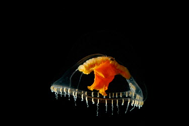 (Chromatonema rubrum) a hydromedusan jellyfish, deep sea Atlantic ocean  -  David Shale/ npl