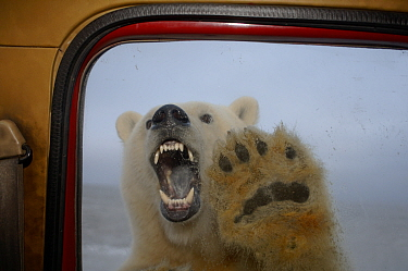 Polar bear (Ursus maritimus) baring teeth at truck window, seen from inside vehicle, Coastal plain of the Arctic National Wildlife Refuge, Alaska  -  Steven Kazlowski/ npl