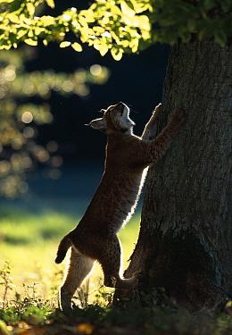 Young male European lynx (Lynx lynx) in broadleaf woodland, Bohemia, Czech Republic  -  Niall Benvie/ npl
