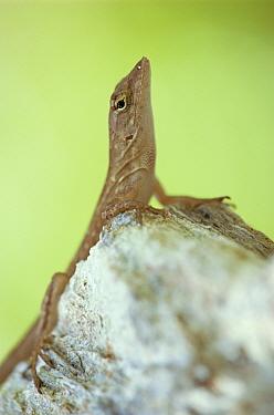 Cuban brown anole (Anolis sagrei sagrei) sunning, SW Florida, USA, introduced to Florida from West Indies  -  Steven David Miller/ npl