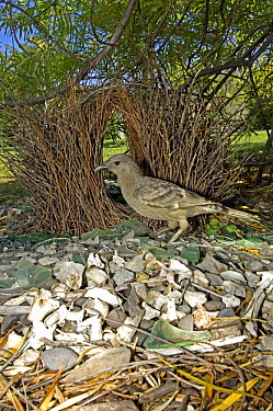 Male Great grey bowerbird (Chlamydera nuchalis) standing in front of bower, in garden, Lake Argyle, Western Australia, Sticks, bones, glass, berries and leaves make up the treasures in this bower  -  Steven David Miller/ npl