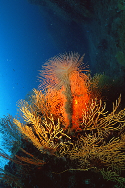 Giant fanworm, feather duster (Spirobranchus spallanzani) on coral reef, Mediterranean  -  Jurgen Freund/ npl