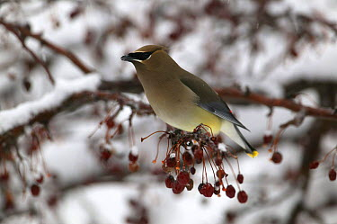 Cedar Waxwing (Bohemian Waxwing), late winter ariving CW feeding on crab apple fruit in snow covered tree, mixed woodland -Witnal Park SE Wisconsin  -  Thomas Lazar/ npl