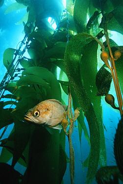 Island kelpfish (Alloclinus holderi) in Giant kelp (Macrocystis pyrifera) forest, California, USA  -  Georgette Douwma/ npl