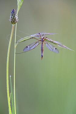 Crane fly (Tipula sp) hanging off blade of grass, Los barruecos NP, Malpartida de Caceres, Extremadura, Spain  -  Jose B. Ruiz/ npl