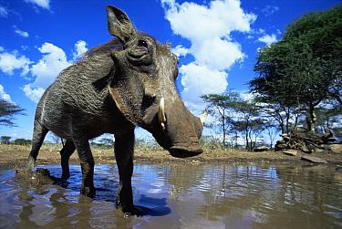 Low angle Warthog (Phacochoerus aethiopicus) about to wallow in mud, Serengeti NP, Tanzania  -  Anup Shah/ npl