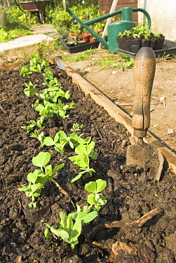 Freshly planted Pea seedlings (Pisum sativum) in small vegetable plot with garden trowel, UK, March  -  Gary K. Smith/ npl