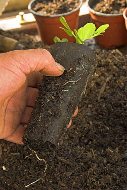 Fibre pot containing Garden Pea plant seedling (Pisum sativum) ready for planting out in vegetable plot, UK, March  -  Gary K. Smith/ npl