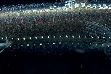 Close-up of ventral photophores on body of Viperfish (Chauliodus sloani) Atlantic  -  David Shale/ npl