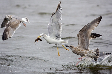 Yellow-legged Gull (Larus cachinnans) and two Juvenile Herring Gull (Larus argentatus) catching fish and fighting, Poland  -  David Kjaer/ npl