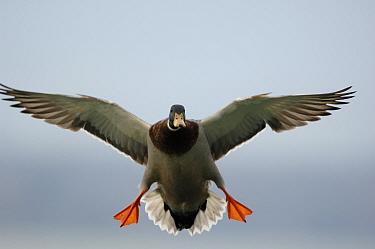 Male mallard duck (Anas platyrhynchos) landing with spread wings and legs to break its speed Walthamstow reservoir, London, UK  -  Laurent Geslin/ npl