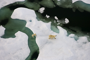 Polar bear (Ursus maritimus) sow with cub walking on multi-layer ice (freshwater pans formed over the years where the salt is squeezed out of the ice) on the Chuckchi Sea, off the National Petroleum R...  -  Steven Kazlowski/ npl