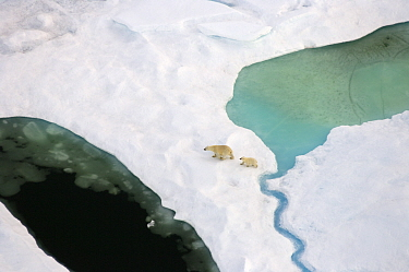 Polar bear (Ursus maritimus) sow and cub walking on multi-layer ice (freshwater pans formed over the years where the salt is squeezed out of the ice) on the Chuckchi Sea, off the National Petroleum Re...  -  Steven Kazlowski/ npl