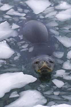 Weddell seal (Leptonychotes weddellii) at surface of icy waters of the western Antarctic Peninsula, Southern Ocean  -  Steven Kazlowski/ npl