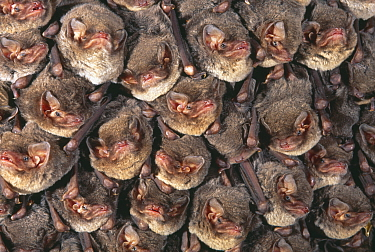 Close up of colony of Schreiber's long fingered bat (Miniopterus schreibersii) roosting in cave, France  -  Inaki Relanzon/ npl